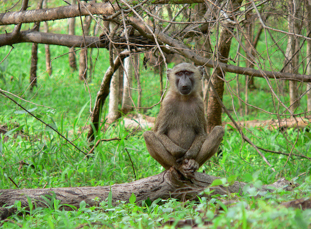 Baboon in Mole National Park